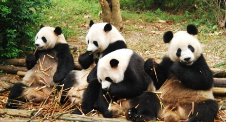 สุดยอดไอเดีย … ผู้เชี่ยวชาญจีนคิดค้น 'ชาเขียวอึแพนด้า' ราคาแพงที่สุดในโลก